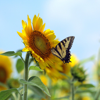 butterflysunflower