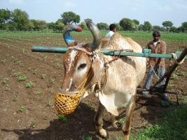 cultivateur-de-coton-bio-au-travail