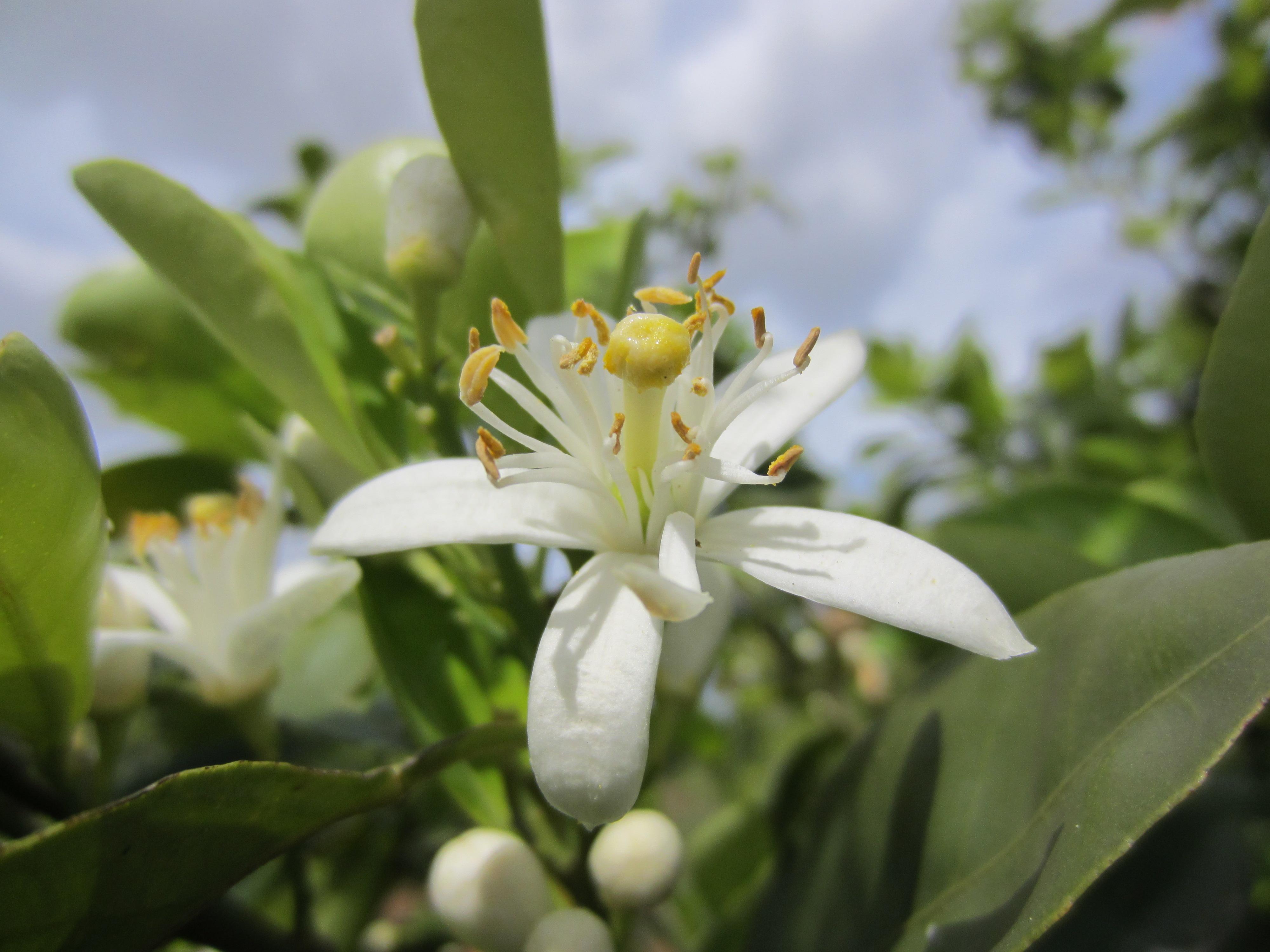 L Eau De Fleur D Oranger De Multiples Possibilites Blog Au Naturel